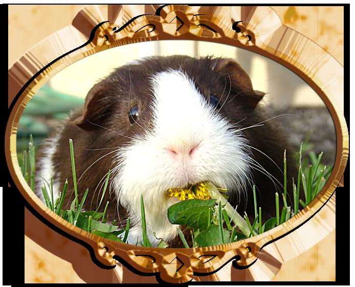 guinea-pig-eating-a-dandelion-1247557